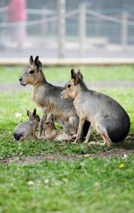 Patagonian Hares